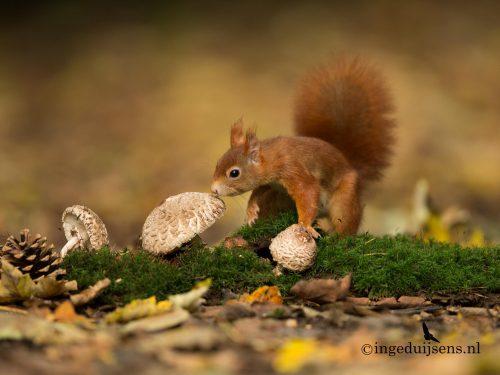 Eekhoorn in herfstsfeer