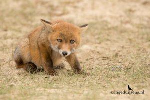 Jonge vos kijkt je aan