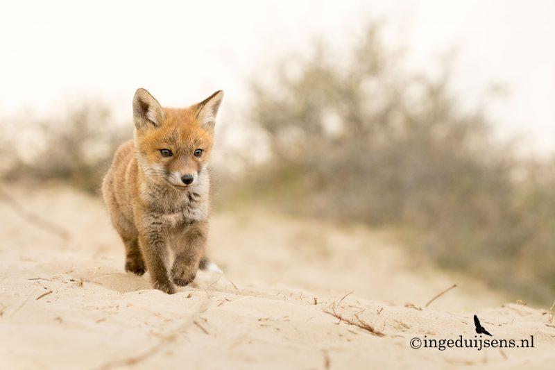 Jong vosje loopt in de duinen