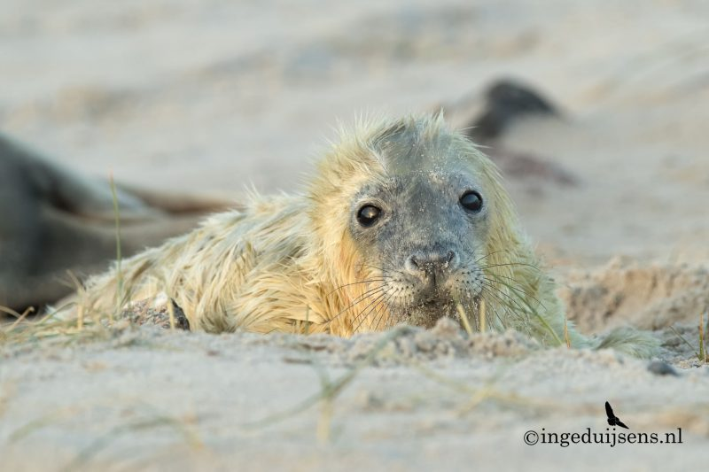 Jonge zeehond is net geboren
