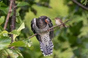 Reed Warbler feeds cuckoo