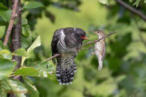 Reed Warbler feeds Cuckoo-3