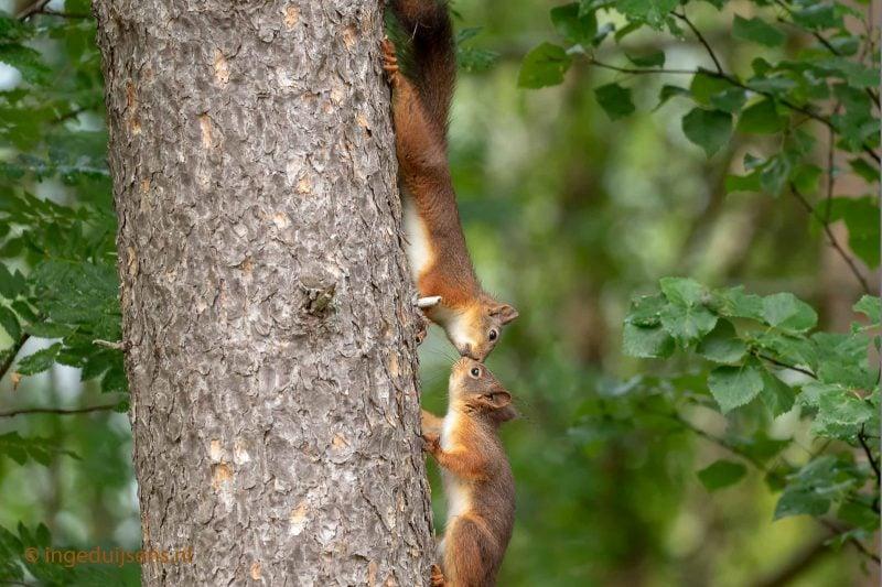 Kussende Eekhoorns