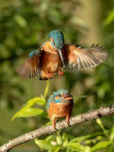 Mating Kingfishers (Vertical)