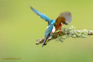 Kingfisher almost diving on pretty stick with moss